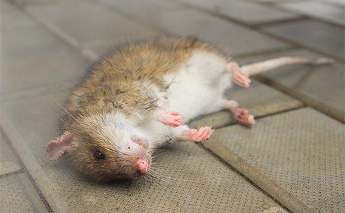Мертвая крыса