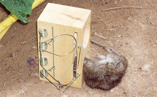 Крыса в мышеловке