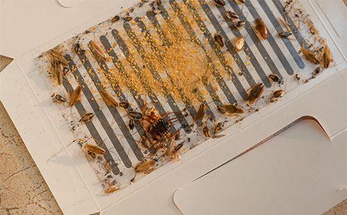 Мертвые тараканы в ловушке