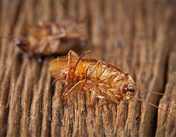 Тараканы в квартире: откуда берутся и чем опасны, как размножаются, что едят и сколько живут отзывы