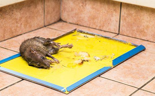 Дохлая крыса на кухне