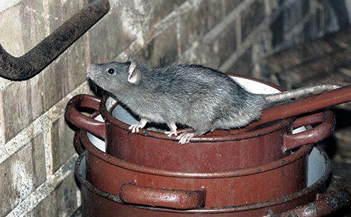 Крыса на кастрюлях