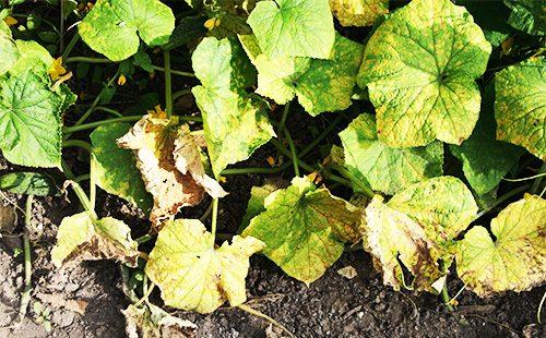 Листья огурцов, пораженные мучнистой росой